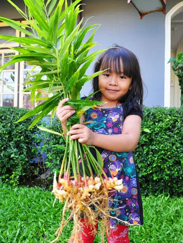 выращивание имбиря дома
