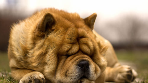 Чау-чау спит