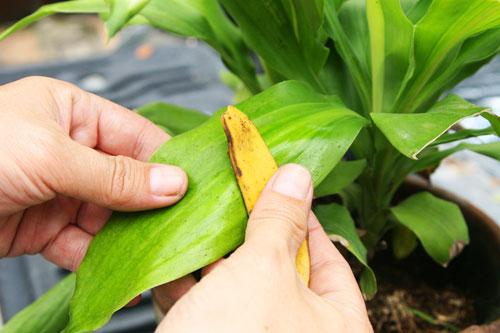 очищение комнатных растений кожурой банана