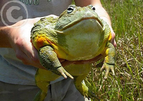Большая лягушка