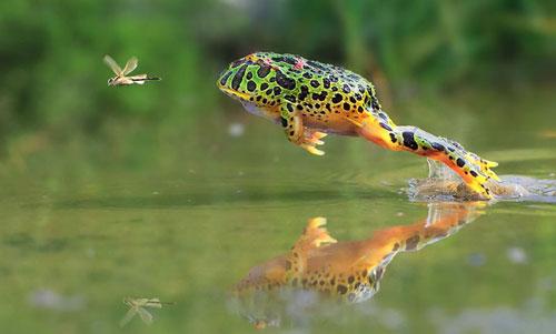 Лягушка охотится
