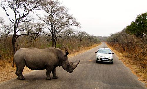 Носорог в Национальном парке Крюгера