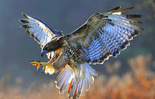 птица сокол