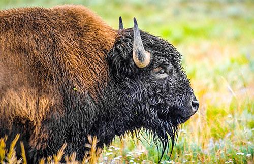 Бизон на природе