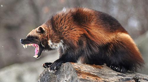 агрессивная росомаха