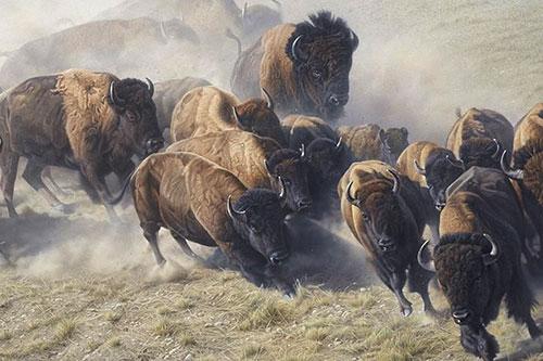 Бегущее стадо бизонов