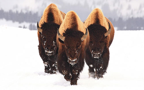 Бизоны зимой