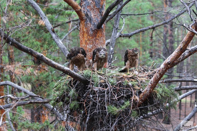 Гнездо ястреба