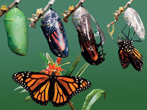кокон бабочки