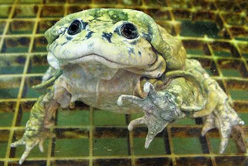 Лягушки - титикакские свистуны