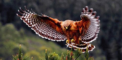 Птица ястреб