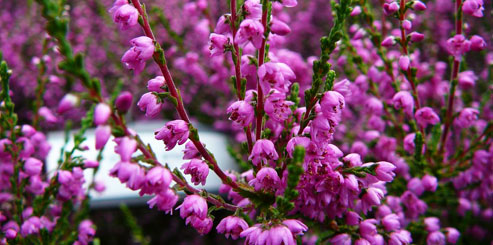 Растение Вереск