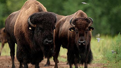 Самец и самка бизона