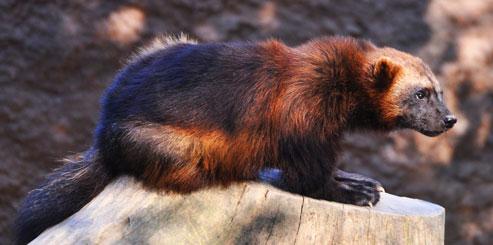 Животное Росомаха