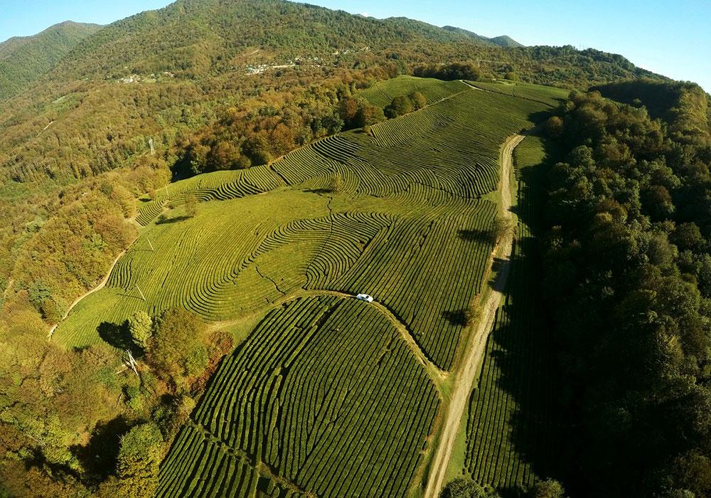 Чайные плантации Краснодара
