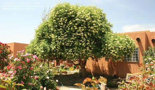 растение бузина возле дома
