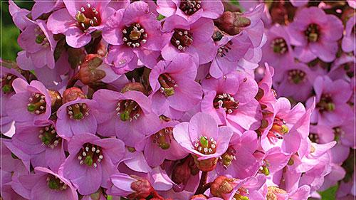 цветы растения бадан