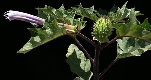 Дурман трава (растение Датура): популярна у садоводов, ведьм и шаманов