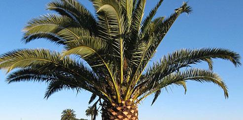 Как вырастить Финиковую пальму из косточки дома