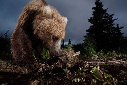 медведь роет землю
