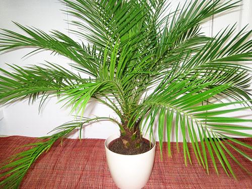 пальма из финика