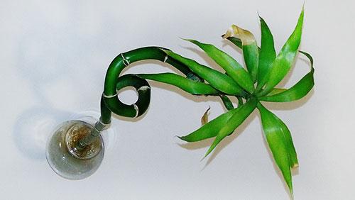Бамбук с засохшим листом