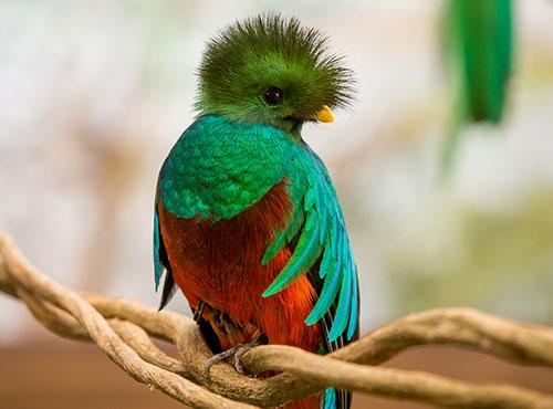 Птичка Кецаль