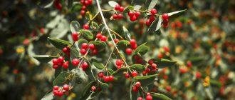 Растение Волчья ягода
